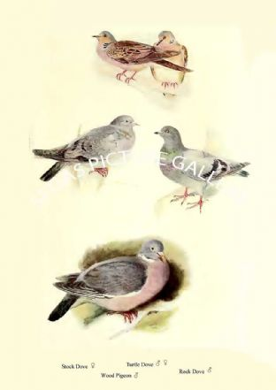Stock Dove, Turtle Dove, Rock Dove & Wood Pigeon